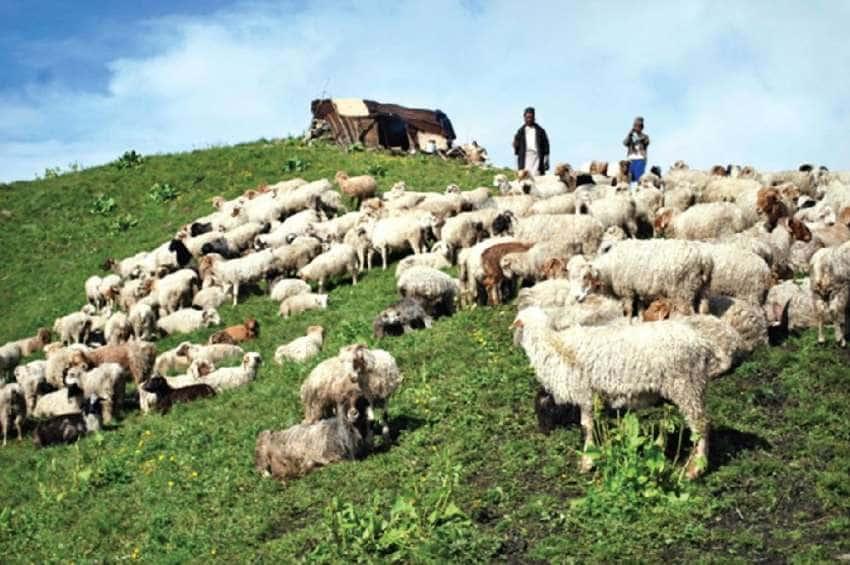 तिन जना भेडा गोठाला र ५०० भेडा वेपत्ता